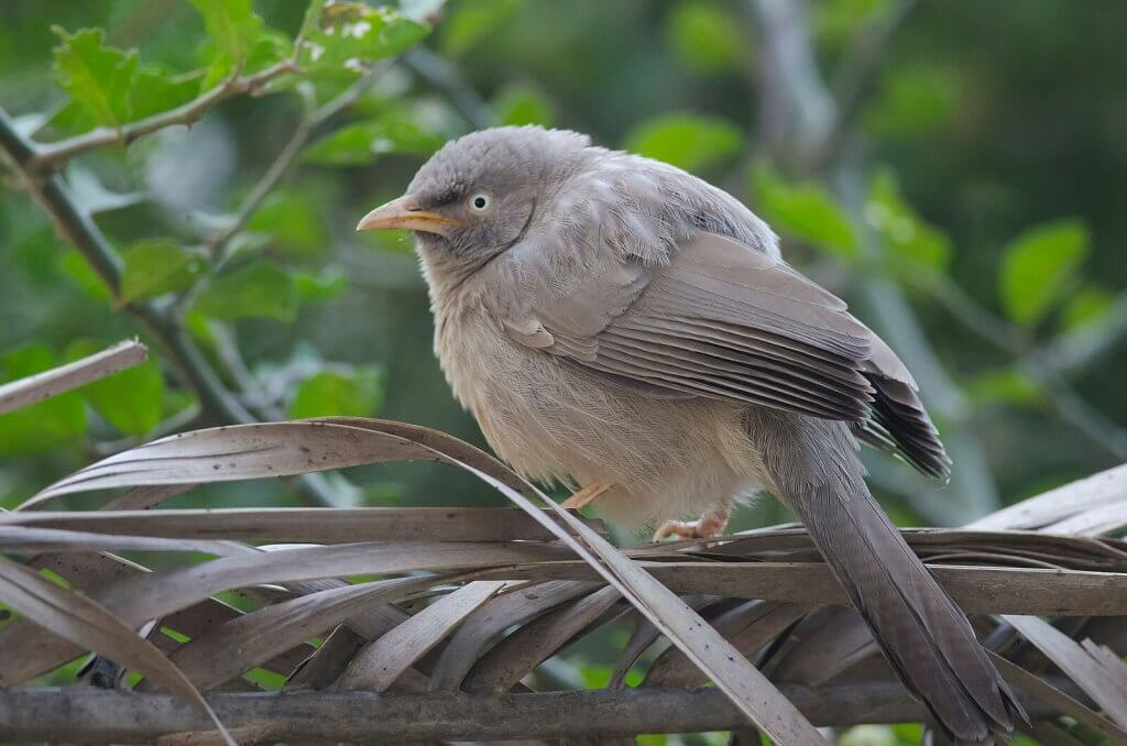 Jungle Babbler at Bharatpur Bird Sanctuary