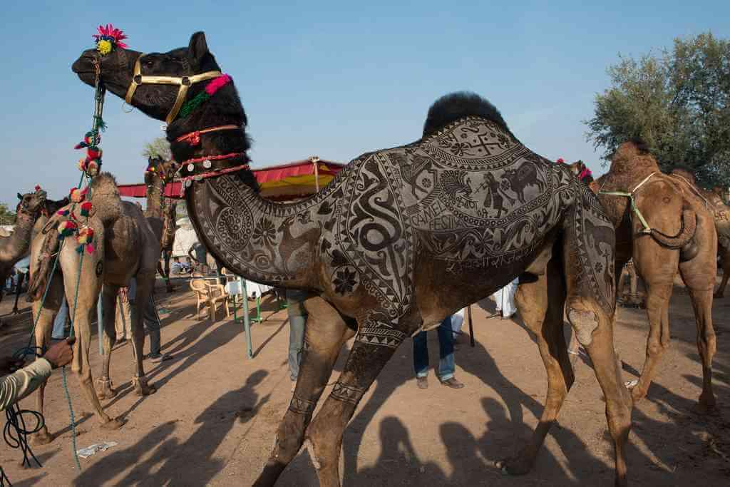 Camel-Beauty